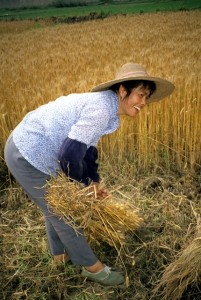 Harvesting wheat in China (by Erle Ellis, 1994)